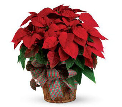 Picture of Christmas Poinsettia
